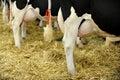 Holstein Dairy Cow Udder Royalty Free Stock Photo