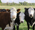 Holstein dairy cows Royalty Free Stock Photography