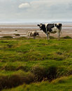 Holstein friesians on the solway cows marsh at bowness dumfries and galloway can be seen in distance Royalty Free Stock Photos