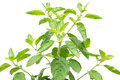 Holy Basil Stock Images