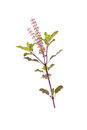 Holy basil with flower isolated on white Stock Photo
