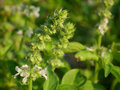 Holy basil flowers Stock Images