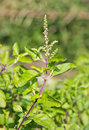 Holy basil it is a herb background Royalty Free Stock Photo