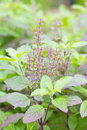 Holy basil plant scientific name ocimum tenuiflorum Royalty Free Stock Images
