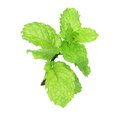 Holy basil or thulasi leaves on white Royalty Free Stock Images