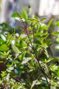 Holy basil tree green vegetable Royalty Free Stock Photography