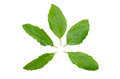 Holy basil or tulsi leaves isolated over white background Royalty Free Stock Photo