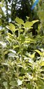 Holy Basil, Tulsi Plant, Thulasi, In Sunlight, Tulsi Plant With Leaves And Seeds, Ayurvedic Medicinal Plant