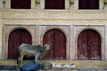 Holy cow in the city palace alwar rajasthan india Royalty Free Stock Photo