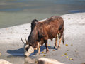 Holy cow drinking water banks ganges river Royalty Free Stock Image