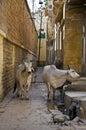 Holy Cows, India Stock Photos