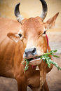 Holy indian cow eating grass india south tamil nadu Stock Photo