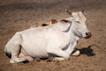 Holy Indian cow on the sand Royalty Free Stock Photo
