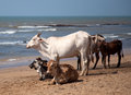 Holy Indian cows on the beach Royalty Free Stock Photo