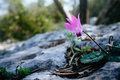 Holy land Series - cyclamen in Ayalon Park Royalty Free Stock Photo