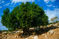 Holyland series ceratonia siliqua carob tree a under cloudy skies in south east israel with arid slope and white rocks one of the Royalty Free Stock Image