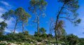 Holyland series judea mountains pine forest a typical vista of in central israel is the tall pines that cover the hills the shot Stock Photo