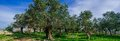 Holyland series old olive trees panorama a typical plant in a deserted palestinian village from lush green grass blue sky Royalty Free Stock Photography