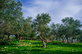 Holyland series old olive trees a panoramic view of ancient in judea mountains south west of jerusalem with cirus clouds and blue Stock Photos