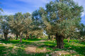Holyland series old olive trees a view of ancient in judea mountains south west of jerusalem with cirus clouds and blue skies Stock Photo