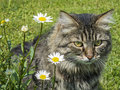 Home cat in the grass nice long hair with flowers Royalty Free Stock Photography
