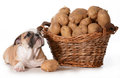 Home cooking for dogs your pet english bulldog laying beside a basket of potatoes isolated on white background Royalty Free Stock Images