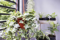 Home and garden concept of english ivy plant in pot Royalty Free Stock Photo