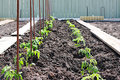 Home grown tomato plants in the garden already staked Royalty Free Stock Image