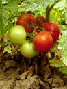 Home grown tomatoes sprayed with bordeaux mixture to protect against fungal infections Stock Photo