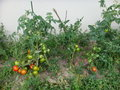 Home grown tomatoes tomato plants at Royalty Free Stock Photos