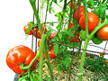 Home-grown, vine-ripened, tomatoes Royalty Free Stock Photo