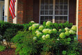 Home landscaping with white hydrangea flowers and evergreen shrubs in the morning Royalty Free Stock Photography