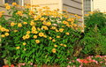 Home landscaping with yellow daisy flowers and ground cover annuals Royalty Free Stock Photography