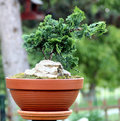 Home made bonsai from thuja Royalty Free Stock Images