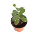 Home plant in pot isolated on white background view from top Royalty Free Stock Photo