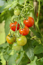 Homegrown cherry tomatoes growing on bush Royalty Free Stock Images