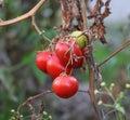 Homegrown Fresh Tomato In A Garden. Royalty Free Stock Photo