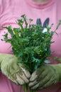 Homegrown garden greens closeup of young woman holding fresh gai lan haida gwaii bc canada Royalty Free Stock Photography