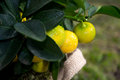 Homegrown oranges on little plant Royalty Free Stock Image