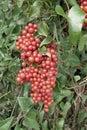Homegrown sarsaparilla or smilax aspera Royalty Free Stock Photo