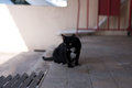 A homeless black cat wander around the street she is also pregnant and can be use for animal protection adoption organization Royalty Free Stock Photos