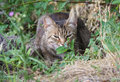 Homeless gray cat hiding in the grass pets Royalty Free Stock Photo