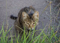 Homeless gray cat hiding in the grass pets Stock Photo