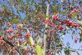 Homey Red berries of the Rowan tree a blue sky Royalty Free Stock Photo
