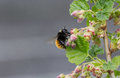 Hommel die nectar from red currants blossoms nippen Royalty-vrije Stock Foto