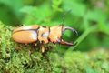 Homoderus mellyi stag beetle Royalty Free Stock Photo