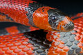 Honduran milk snake lampropeltis triangulum hondurensis the coral mimicking is a eating non venomous native to honduras costa rica Stock Image