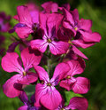 Honesty flowers