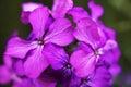 Honesty flowers Stock Photography