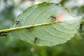 Honey Ants Aphids Royalty Free Stock Photo